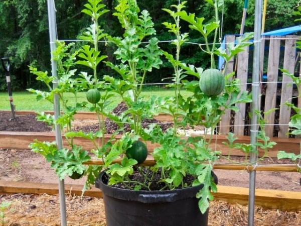 cultivar sandías en macetas