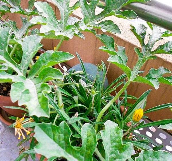 cultivar-sandias-en-macetas-03