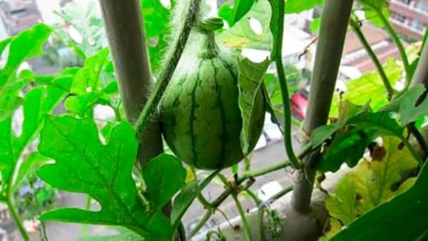 cultivar-sandias-en-macetas-04