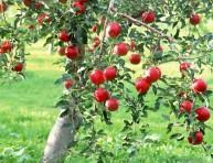 imagen Fertilización biológica de los frutales