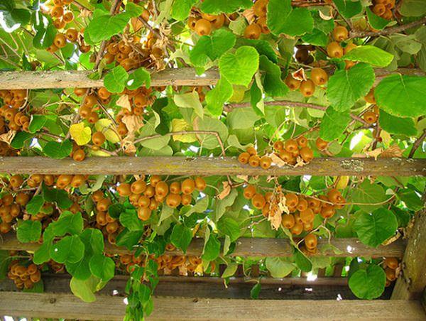 las-19-mejores-plantas-para-pergolas-14
