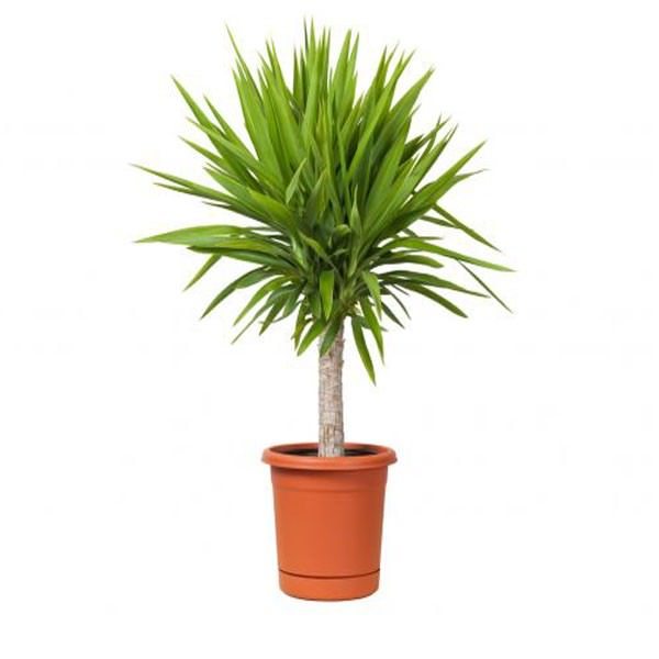 Las 18 mejores plantas grandes de interior - Las mejores plantas de interior ...