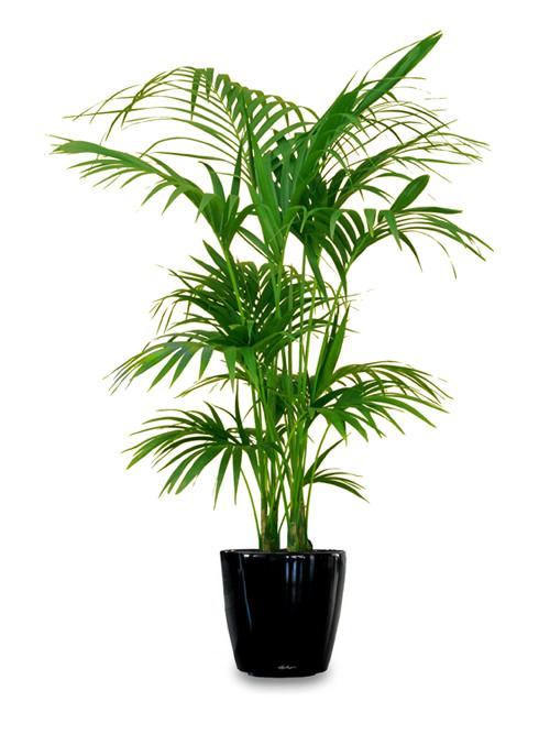 Las 18 mejores plantas grandes de interior for Plantas para macetas grandes de exterior