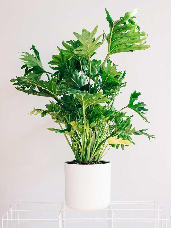 Las 18 mejores plantas grandes de interior gu a de for Plantas de interior muy duraderas