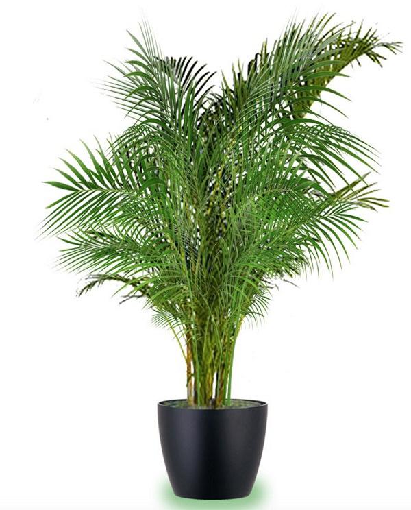 Las 18 mejores plantas grandes de interior for Palma pianta