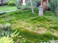 imagen Zoysia tenuifolia como alternativa al césped