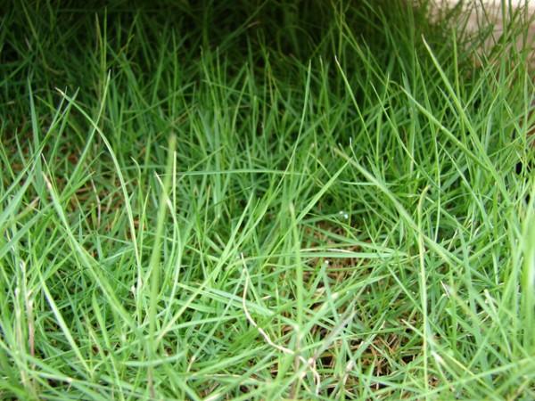 zoysia-tenuifolia-como-alternativa-al-cesped-05