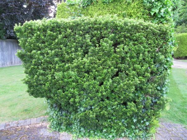 arbustos sustitutivos del boj para formar setos
