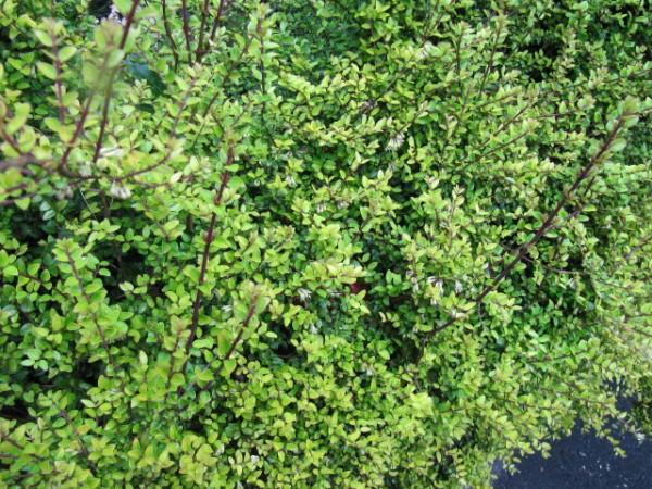 arbustos-sustitutivos-del-boj-04