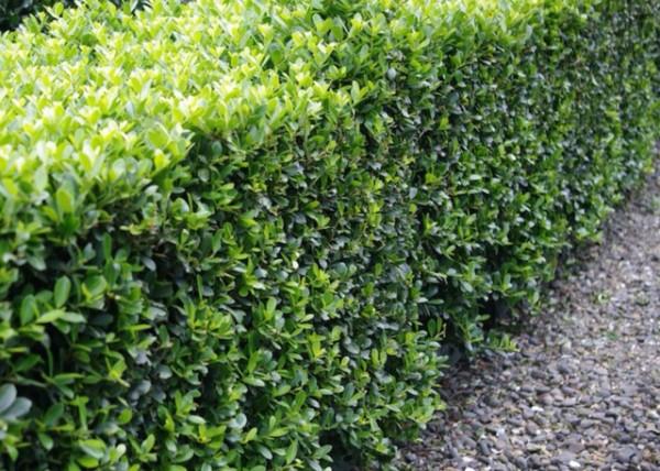 arbustos-sustitutivos-del-boj-05