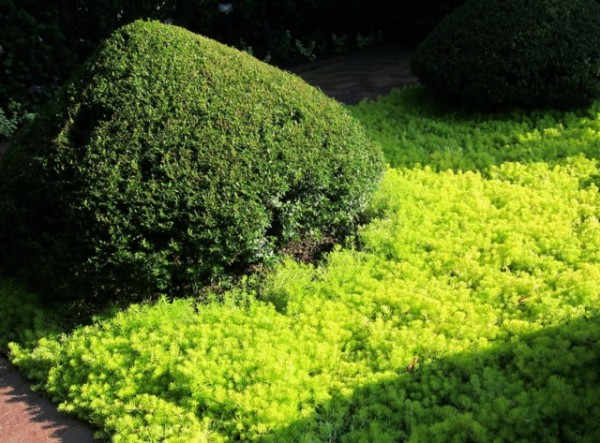 arbustos-sustitutivos-del-boj-06