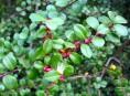 imagen Arbustos sustitutivos del boj para formar setos