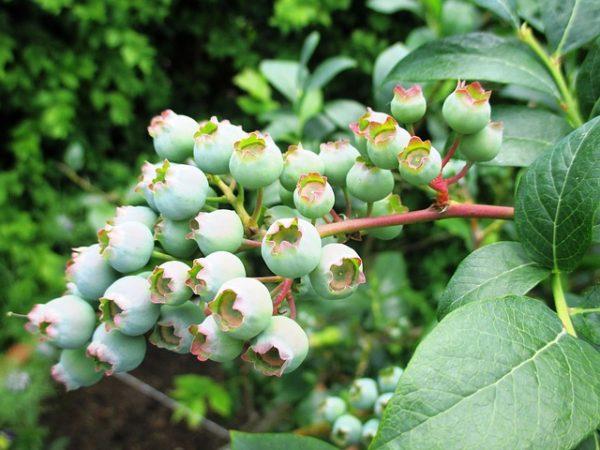 como-cultivar-arandanos-02