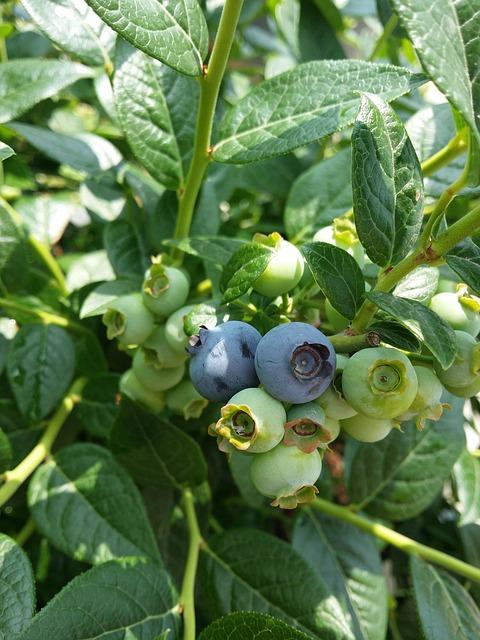 como-cultivar-arandanos-04