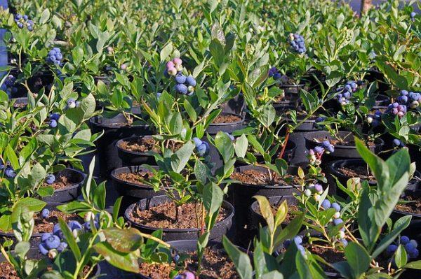 como-cultivar-arandanos-05