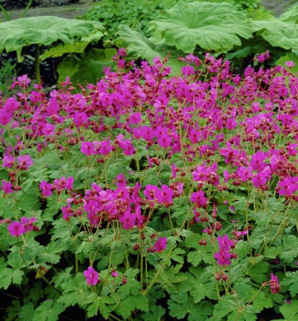 18-plantas-cubresuelos-con-flor-01