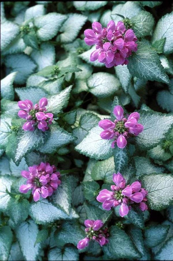 18 plantas cubresuelos con flor for Planta ornamental blanca nieves