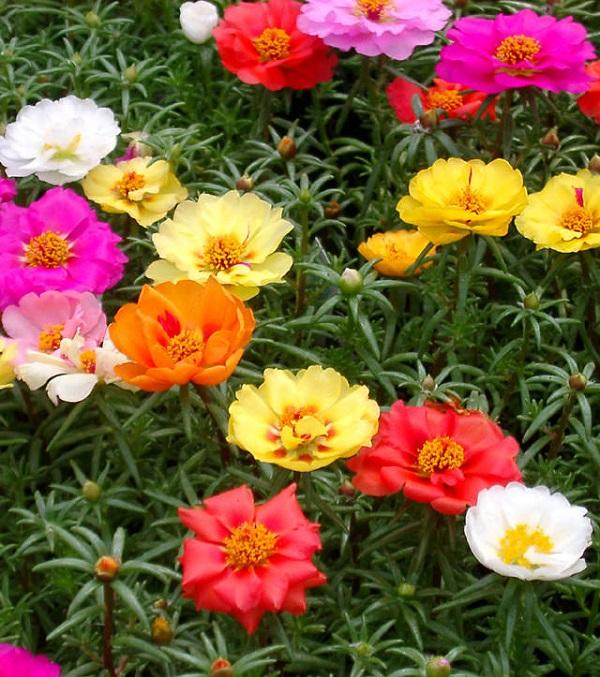 18 plantas cubresuelos con flor for Suculentas chile