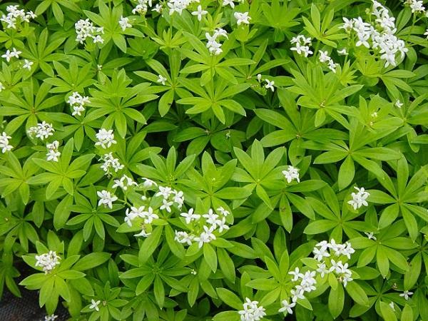 18-plantas-cubresuelos-con-flor-06
