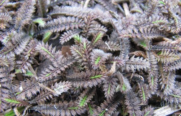 18-plantas-cubresuelos-con-flor-08