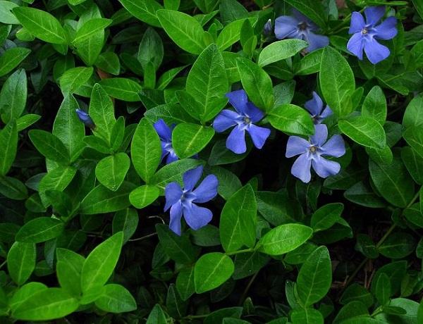 18-plantas-cubresuelos-con-flor-13