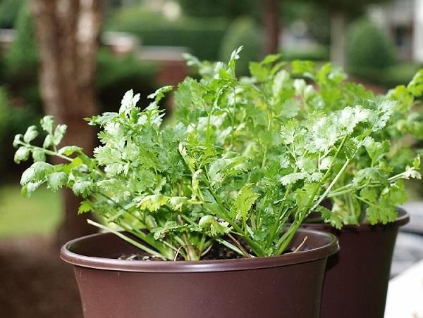 agrega-cilantro-a-tu-jardin-de-hierbas-domestico-01