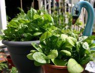 imagen Aprende a cultivar espinacas en maceta