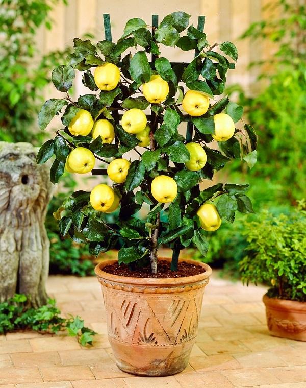 como-cultivar-un-manzano-en-maceta-01