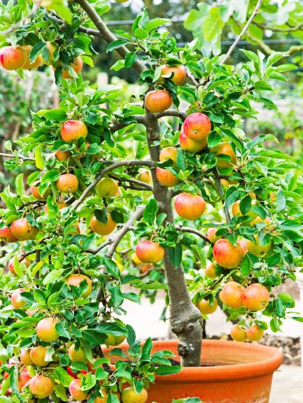 como-cultivar-un-manzano-en-maceta-02
