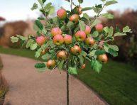 imagen Cómo cultivar un manzano en maceta