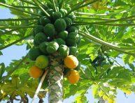 imagen Cómo cultivar papaya en tu jardín