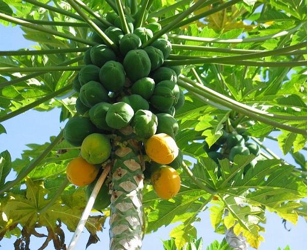 como-cultivar-un-papayo-en-tu-jardin-01