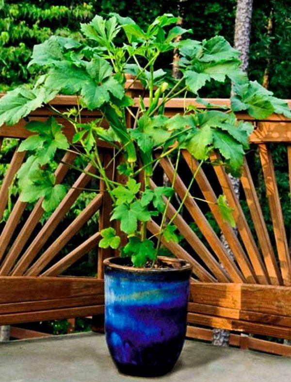 cultiva-okra-en-maceta-01