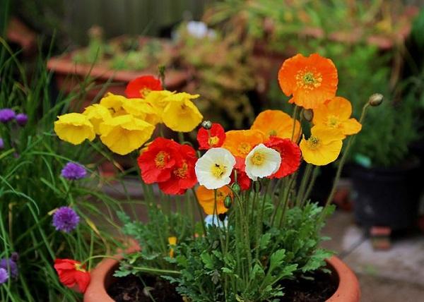 cultivar-amapolas-en-maceta-01