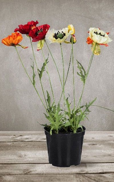 cultivar-amapolas-en-maceta-03