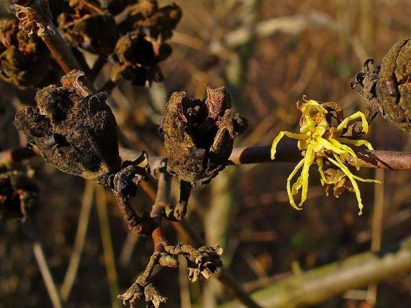 cultivo-del-hamamelis-05