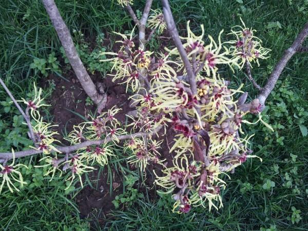 cultivo-del-hamamelis-07
