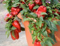 imagen El cultivo del pimiento en maceta