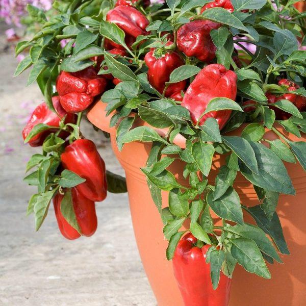 el-cultivo-del-pimiento-en-maceta-01