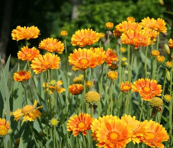 las-mejores-flores-para-cultivar-en-maceta-a-pleno-sol-07
