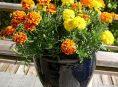 imagen Las mejores flores para cultivar a pleno sol – 2ª parte