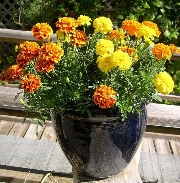 las-mejores-flores-para-cultivar-en-maceta-a-pleno-sol-13