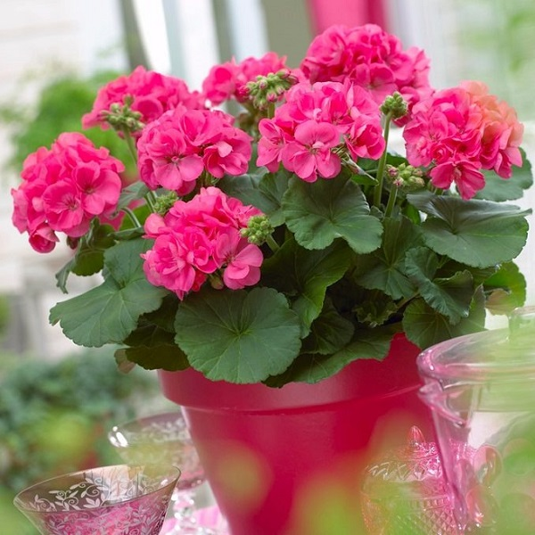 Las mejores flores para cultivar a pleno sol 2 parte for Fotos de plantas en macetas