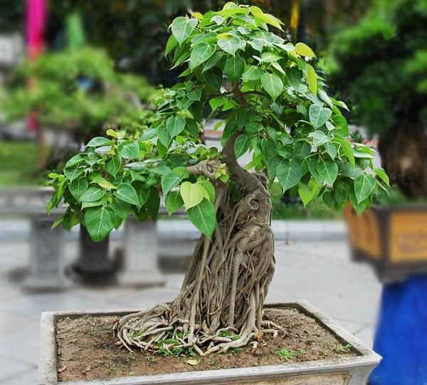 los-mejores-arboles-para-bonsais-02