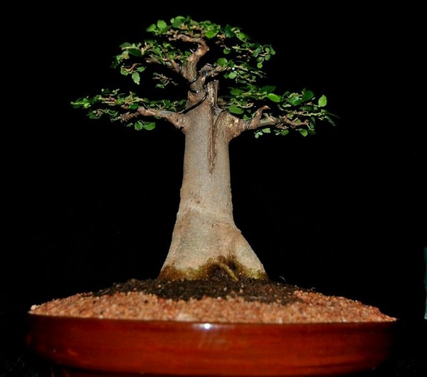 Los mejores rboles para bonsais for Como cultivar bonsais