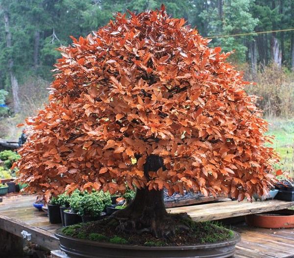 los-mejores-arboles-para-bonsais-05