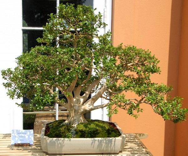 los-mejores-arboles-para-bonsais-06
