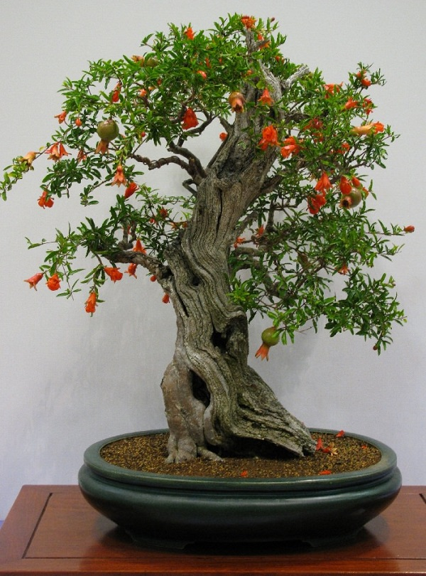 Los mejores rboles para bonsais - Como cuidar un bonsai ...
