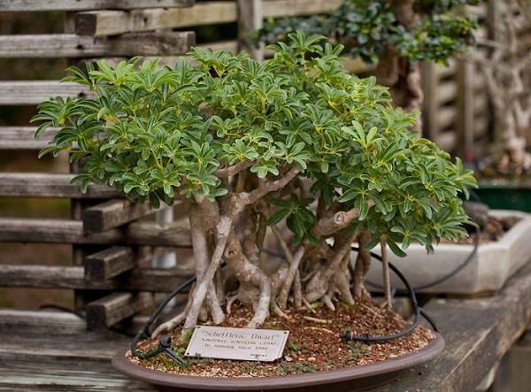 los-mejores-arboles-para-bonsais-13