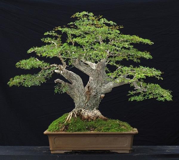 los-mejores-arboles-para-bonsais-15